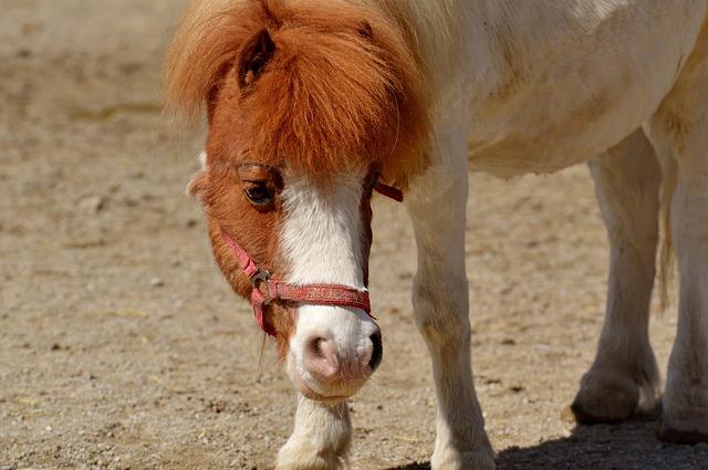 koník pony
